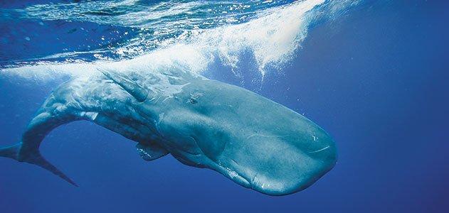 Sperm whale american renasance
