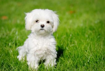 Maltipoo - Maltese and Poodle