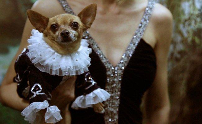The Chihuahua Companion