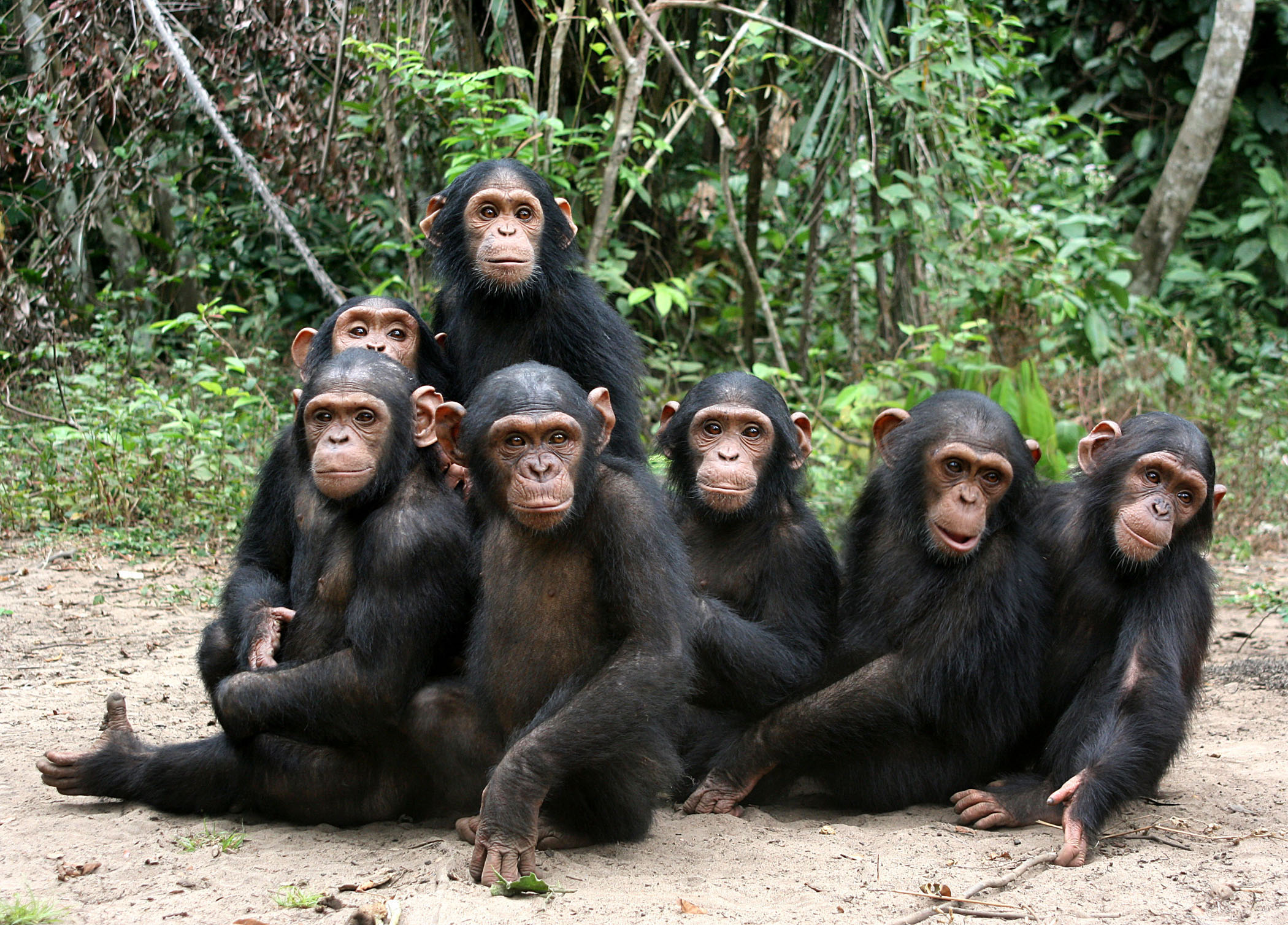 Orphan chimps