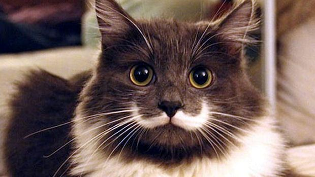 Hamilton The Hipster Cat – Earns $1,900 – $15,900 Annually