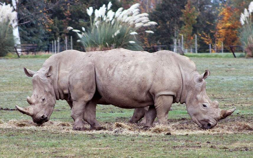 Two Headed Rhino, That's All