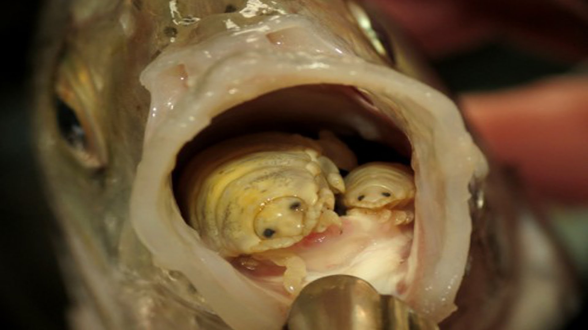 15 super disturbing facts that ll make you sleep with your for Parasite that eats fish tongue